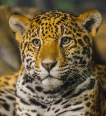 pic of ocelot  - Portrait of a young Jaguar Cat looking towards the camera