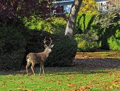 image of deer family  - Deer wandering the street of a suburban neighborhood - JPG