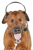 Rhodesian Ridgeback Call Center Talking