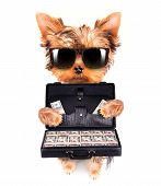 picture of fluffy puppy  - cute little puppy with glasses holding case full of money on a white background - JPG