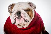 dog wearing red sweater - english bulldog