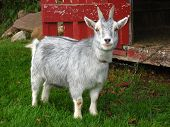 picture of pygmy goat  - A pygmy goat standing outside its shelter. ** Note: Soft Focus at 100%, best at smaller sizes - JPG