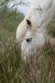 picture of marsh grass  - horse grazing on marsh grass in the Camargue - JPG