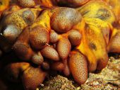 image of echinoderms  - Details from the front of a tubercle sea cucumber  - JPG