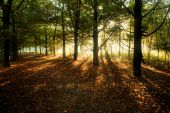 Sunrays Through Beech Trees In Autumn