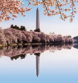 picture of washington monument  - Cherry blossoms frame the Washington monument in Washington DC during Cherry Blossom Festival as the tidal basin reflects the blooms - JPG
