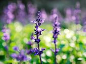stock photo of purple sage  - Close - JPG
