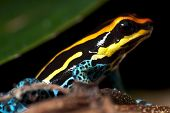 picture of orange poison frog  - Small poison dart frog sitting on some tiny branches - JPG