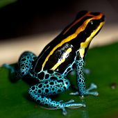 stock photo of orange poison frog  - Small poison dart frog sitting on a leaf - JPG