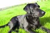 image of labradors  - Black labrador conceptual image - JPG