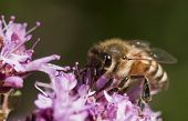 picture of sucking  - a honey bee sucking nectar and pollinating a purple flower - JPG