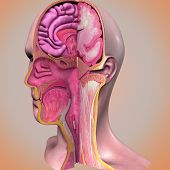 pic of thalamus  - The face is a central organ of sense and is also very central in the expression of emotion among humans and among numerous other species - JPG