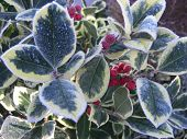 foto of frozen  - Frozen Holly bush with frozen leaves and berries - JPG