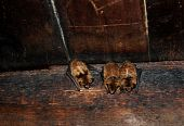 foto of rafters  - Three sleeping bats on rafters of Tipton place Smoky Mountain National Park - JPG