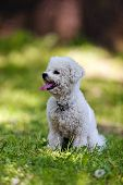 picture of irresistible  - cute small bichon sitting in grass in the park notice - JPG