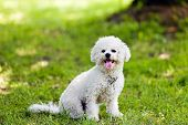 stock photo of irresistible  - cute small bichon sitting in grass in the park notice - JPG