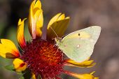 stock photo of suck  - Brimstone butterfly - JPG