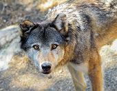 stock photo of lupus  - Grey wolf, canis lupus, portrait from up