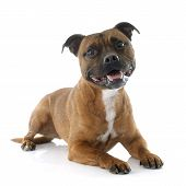 picture of staffordshire-terrier  - Staffordshire bull terrier in front of white background - JPG