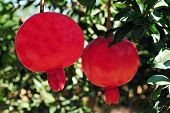 picture of sukkoth  - Pomegranate fruit orchard in Israel - JPG