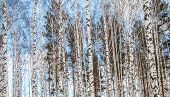 picture of birching  - Birch wood in winter blue sky view - JPG