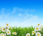 picture of daisy flower  - Spring green field with flowers and blue sky - JPG