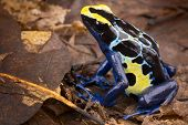 image of poison dart frogs  - poison dart frog tropical amphibian from Amazon rain forest in Brazil Suriname and French Guyana poisonous animal with bright blue and yellow colours Dendrobates tinctorius - JPG
