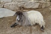 picture of highland-cattle  - Ordinary goat which grazes in the highlands of Tibet - JPG