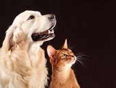 stock photo of golden retriever puppy  - Cat and dog - JPG
