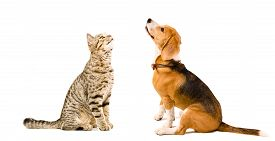 image of tabby-cat  - Cat Scottish Straight and beagle dog sitting together looking up isolated on white background - JPG