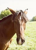 pic of chestnut horse  - Chestnut horse in the outdoors - JPG
