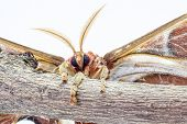 pic of atlas  - on a branch of a tree there is a Attacus atlas - JPG