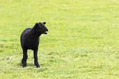 stock photo of stare  - Young horned black lamb bleating calling to its mother and staring to the right - JPG