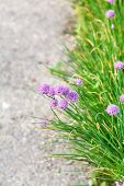 picture of chive  - green grass and pink chives flowers on side of road - JPG
