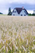 image of farm-house  - New house on a farm in a field of ripe grain with daisies - JPG