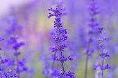 stock photo of salvia  - Beautiful flower background with Salvia farinacea Benth soft focus - JPG
