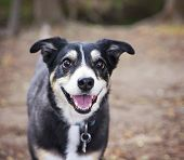 picture of herding dog  - a dog out in nature looking at a ball to be thrown  - JPG