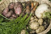 picture of turnips  - Muddy home grown red and white potatoes - JPG