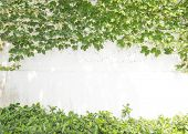 picture of ivy  - ivy leaves on wall - JPG