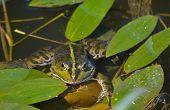 foto of amphibious  - A green frog - JPG