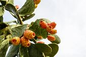 pic of cactus  - Prickly pear cactus  with sweet orange fruits - JPG