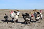 picture of turkey-cock  - flight of turkey - JPG