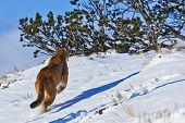 Постер, плакат: Mountain Lion Is Running On With Snow And Shrubbery Land