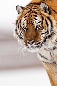 Постер, плакат: The Amur Tiger Habitat Hearose Feeling Of Strength
