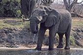 Постер, плакат: Африка слон