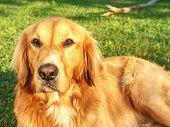 Portrait Of Golden Retriever Dog Sitting On Grass. Healthy Athletic Body Of Smart Dog.  Lying Golden poster