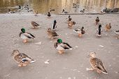 Flock Of Wild Ducks And Drakes Are On Shore Of City Pond. poster