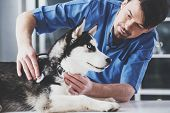 Young White Bearded Vet In Blue Robe Examines Siberian Husky At Reception In Vet Clinic. poster