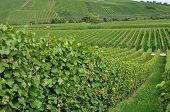 picture of foreshortening  - foreshortening of hilly vineyard with multiple lines of plants in a green rustic landscape - JPG