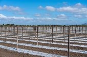 Rows Of Young Tomatoes Planted In Plastic To Prevent Weeds. The Plants Are Between Wooden Stakes Whi poster